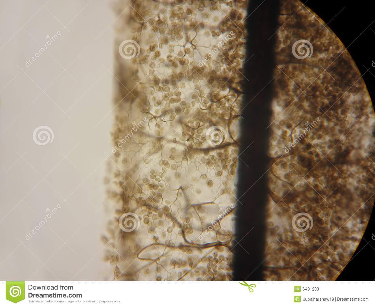 Stemonitis Slime Mold Stock Photo.