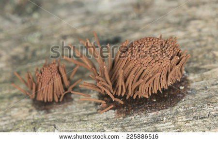 Stemonitis Stock Images, Royalty.