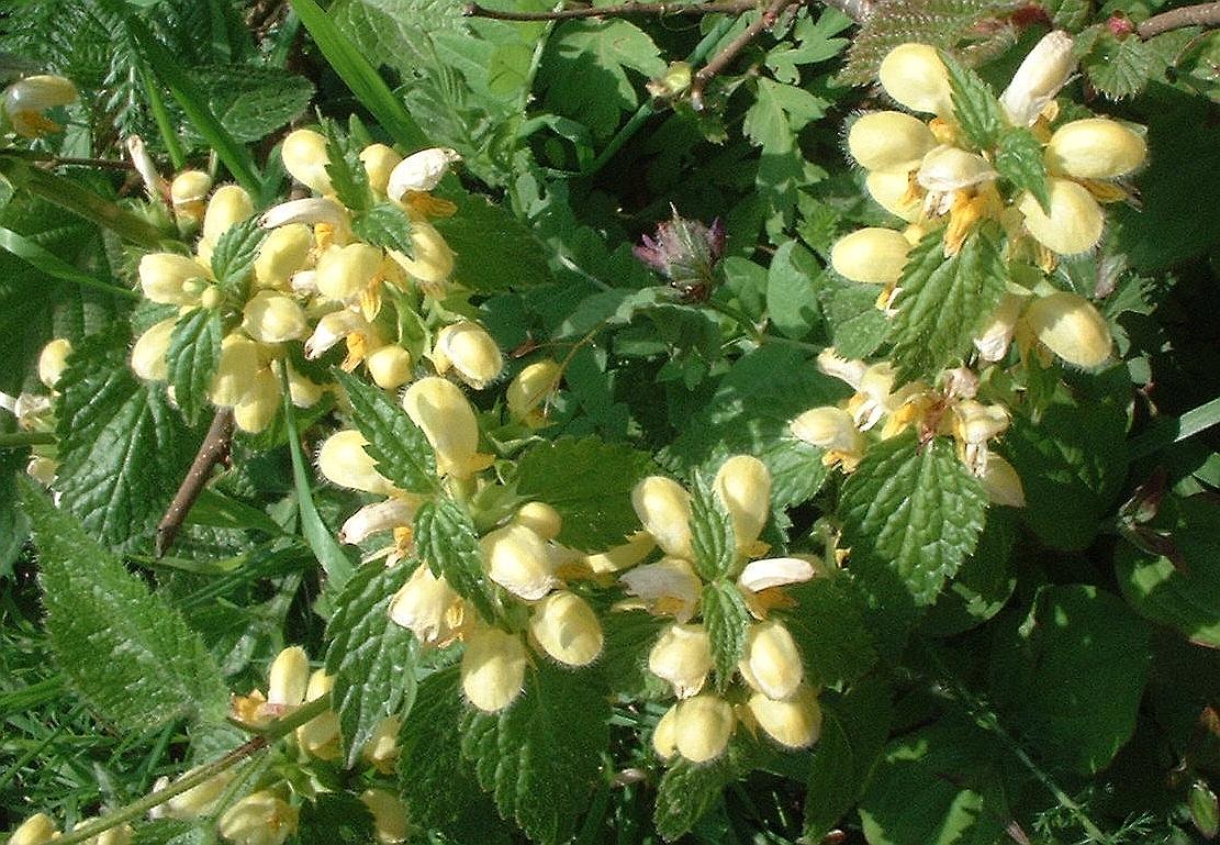 Lamiaceae.