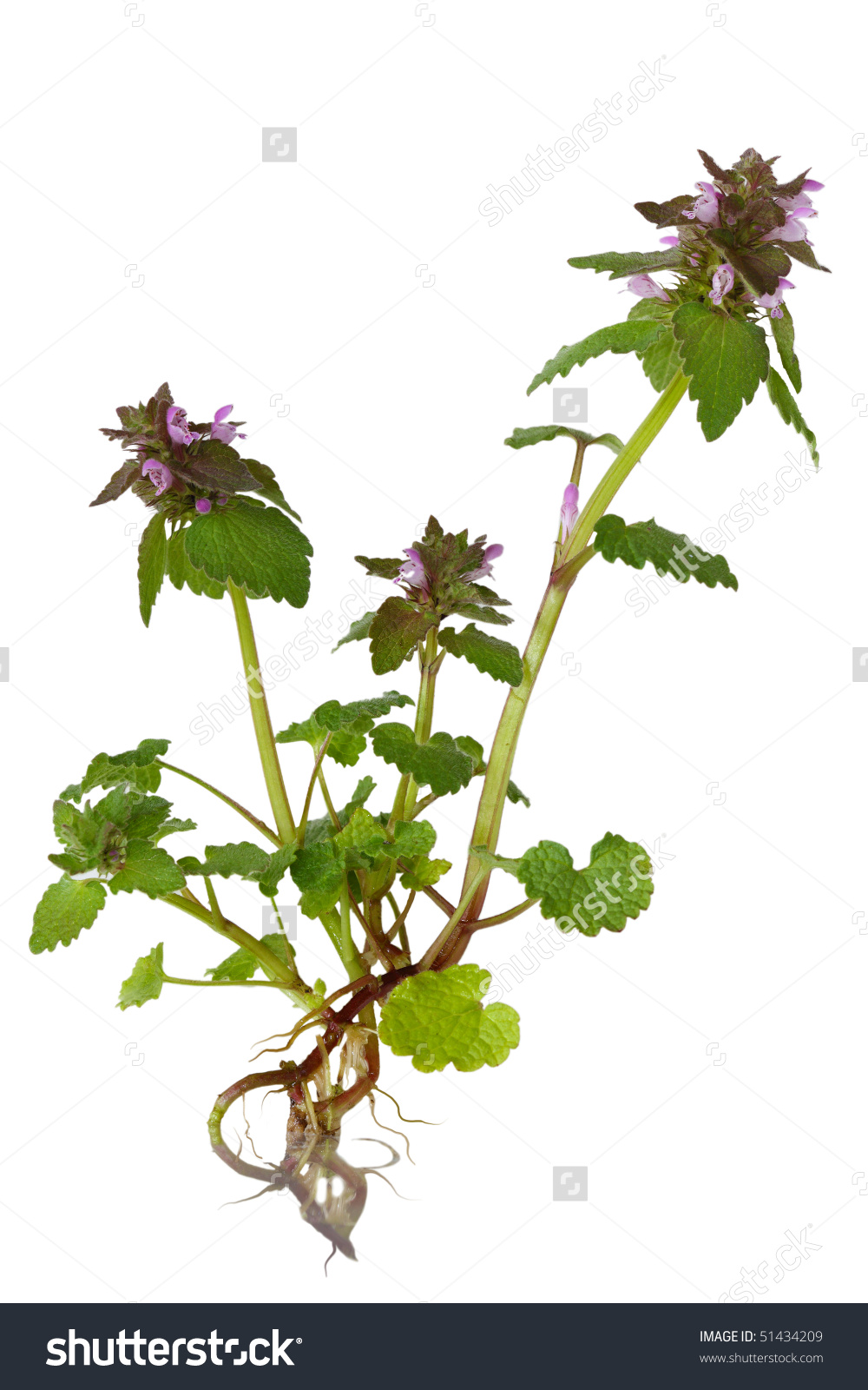 Stems wide dead nettle clipart #5