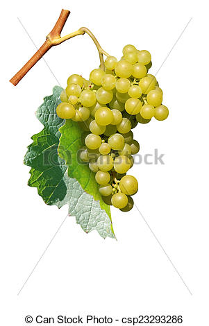 Pictures of grapes, isolated.