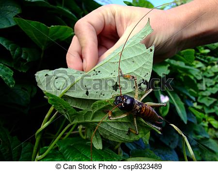 Stock Photographs of Giant Weta insect, New Zealand.