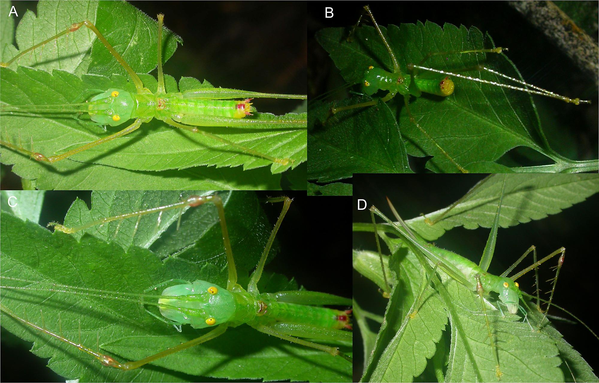 Systematics of Spiny Predatory Katydids (Tettigoniidae.