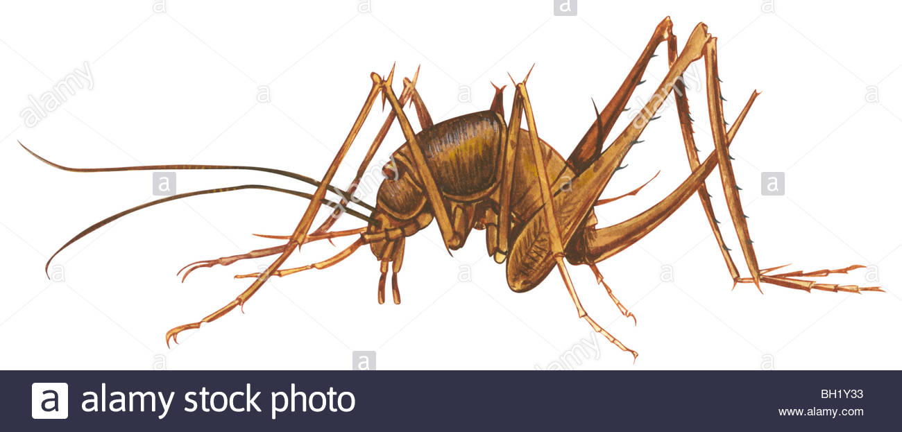 Cave Cricket Stock Photo, Royalty Free Image: 27702727.