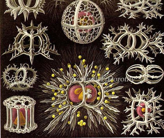 Stephoidea Formations Discomedusae Haeckel Vintage Print Natural.