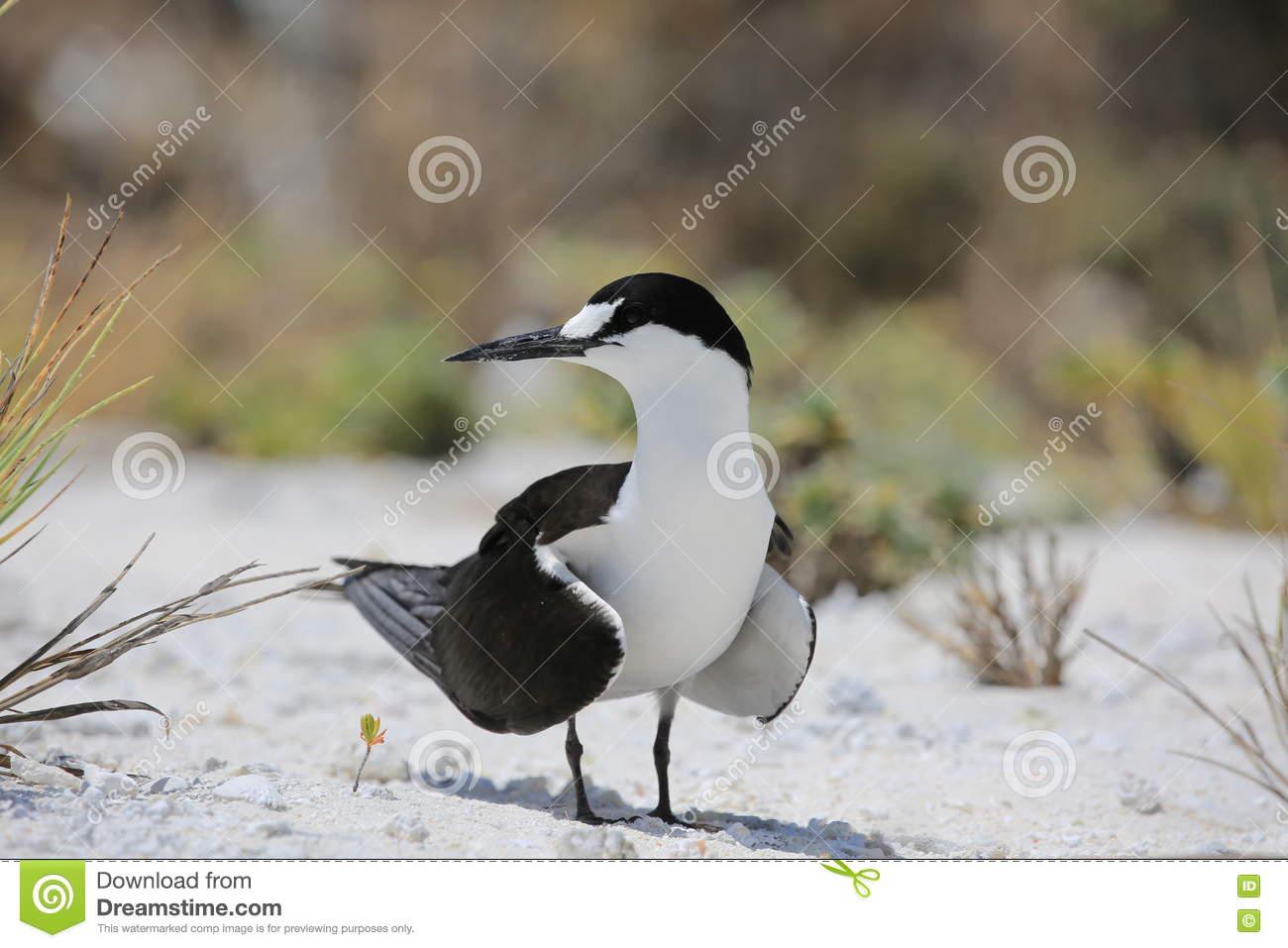 Uccello Fuligginoso Di Sterna Fuscata Della Sterna Fotografia.