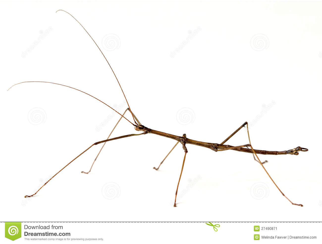 Stick Insect Stock Photos, Images, & Pictures.