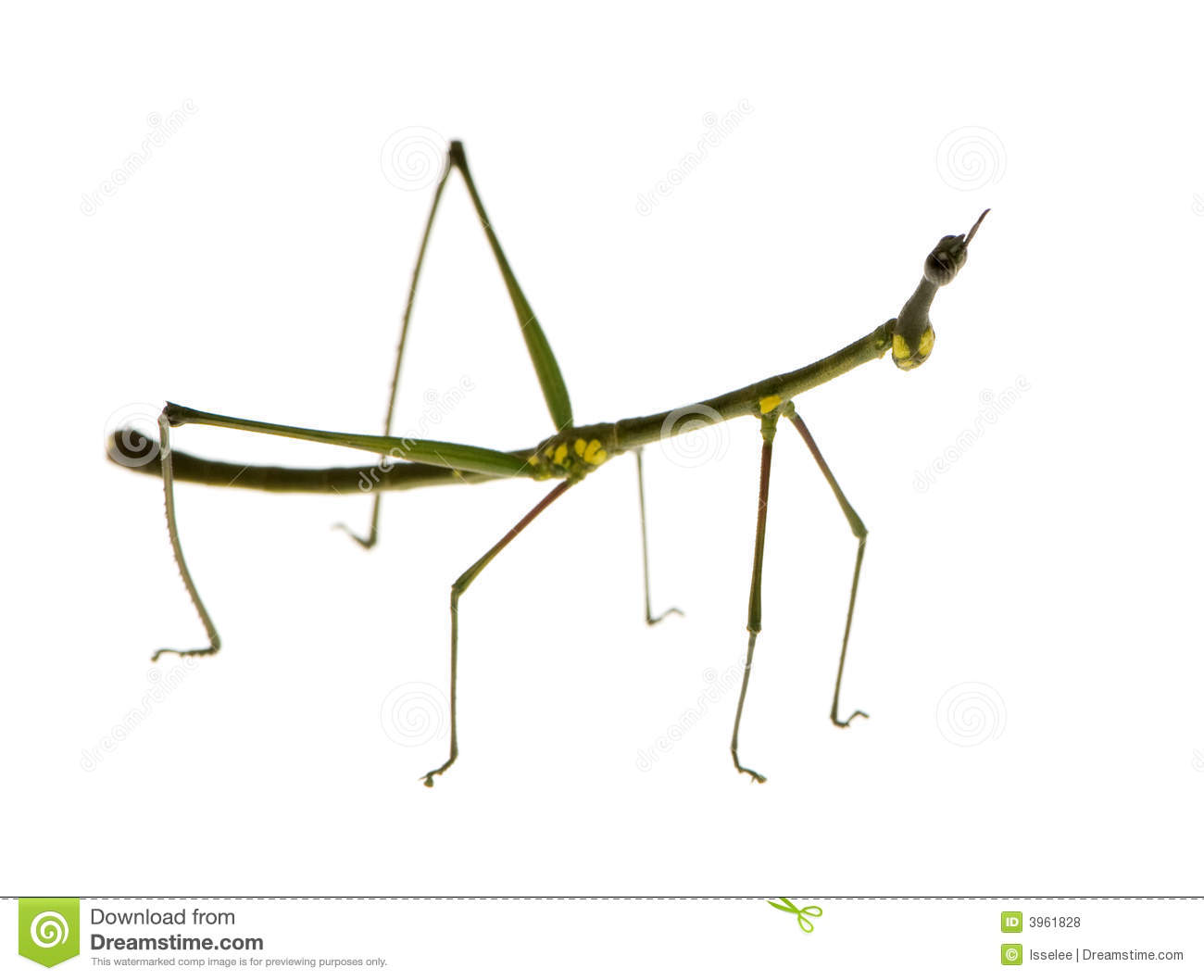 Stick Bug Stock Photos, Images, & Pictures.