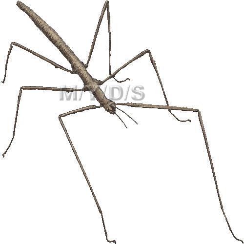 Stick Insect, Stick.