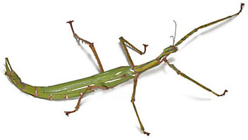 Stick insects for sale.