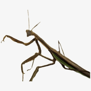 Standing Insect.