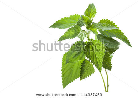 Nettle leaves leaves stinging free stock photos download (3,918.