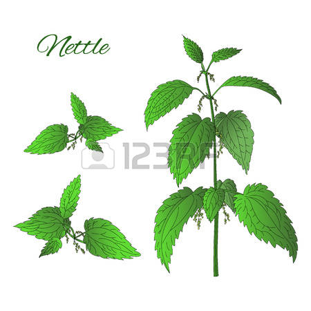 78 Stinging Nettle Stock Vector Illustration And Royalty Free.
