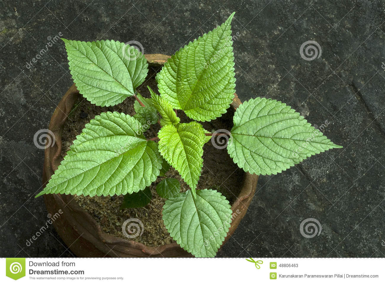 Stinging Nettle In Potted Plant.