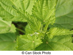 Stock Photography of STINGING NETTLE (Urtica dioica) csp43541408.