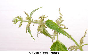 Pictures of Stinging Nettle (Urtica Dioica) Isolated on White.