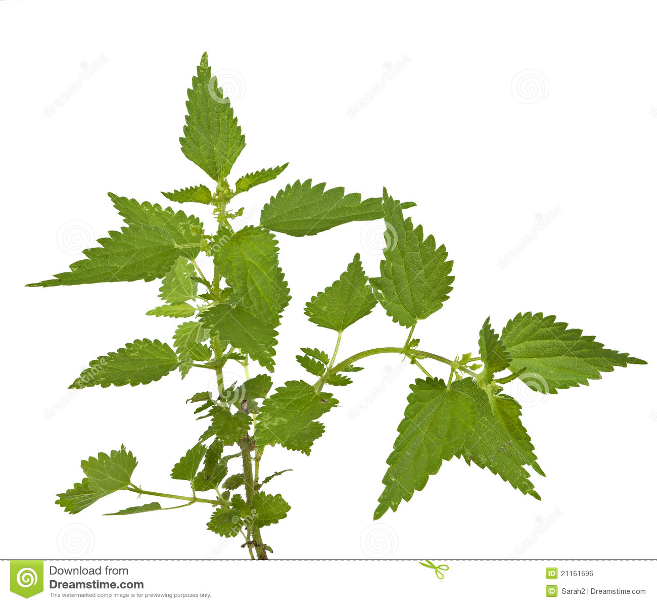 Stinging Nettle. Urtica Dioica, Isolated Royalty Free Stock Image.