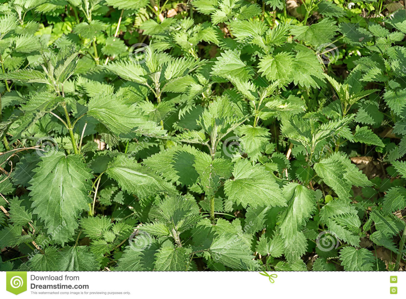 Stinging Nettles (Urtica Dioica) Stock Photo.