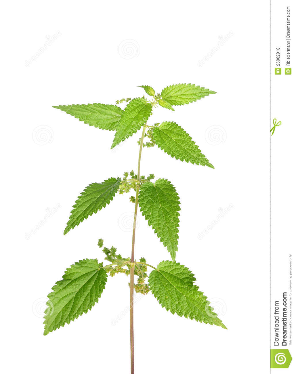 Stinging Nettle (Urtica Dioica) Royalty Free Stock Photos.