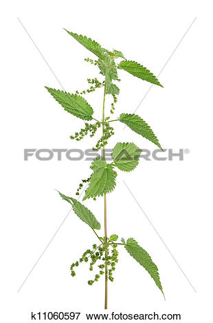 Picture of Stinging nettle (Urtica dioica) k11060597.