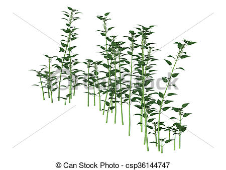 Drawing of 3D Illustration Urtica Dioica or Nettle on White.
