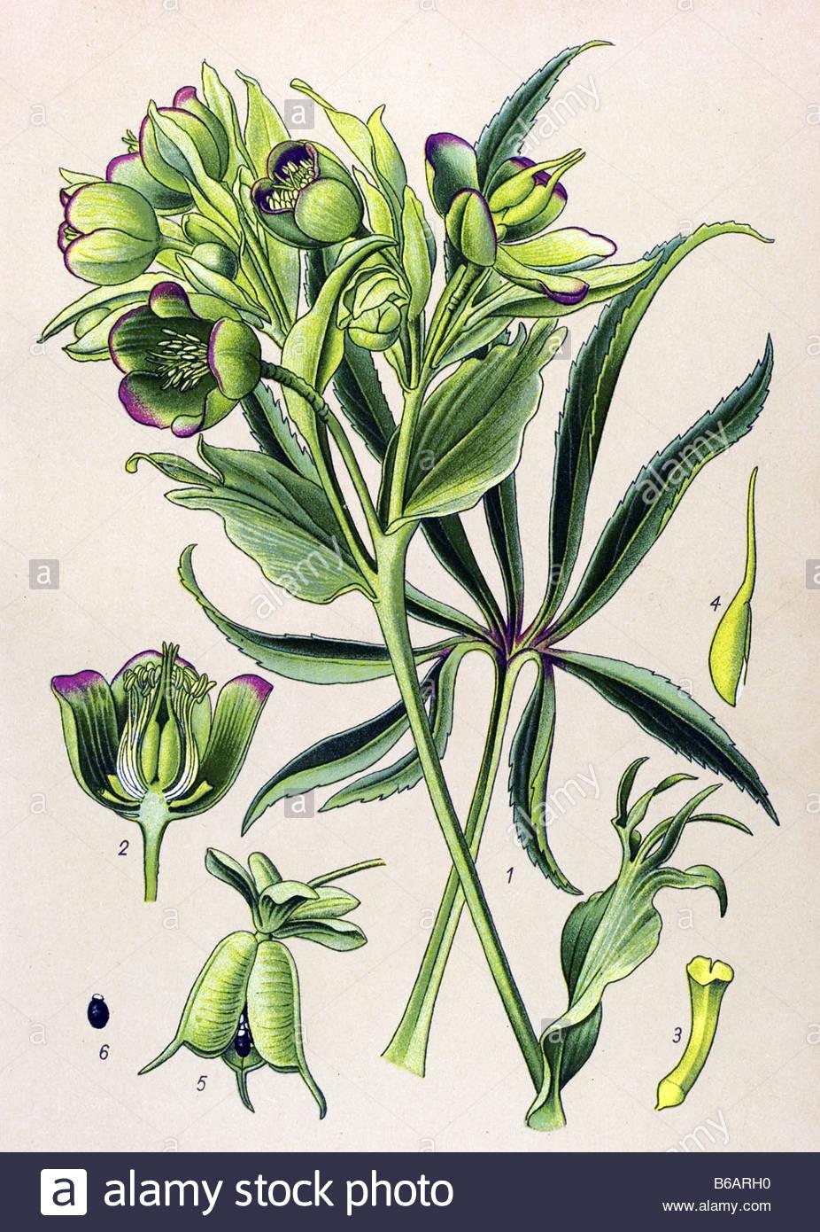 Stinking hellebore, Helleborus foetidus, poisonous plants.