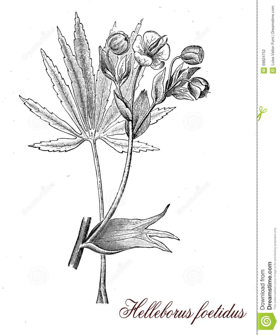 Stinking Hellebore, Botanical Vintage Engraving Stock Illustration.