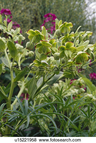 Pictures of Close up of a stinking hellebore. u15221958.