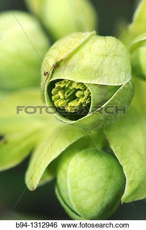 Stock Images of Stinking hellebore or Dungwort (Helleborus.
