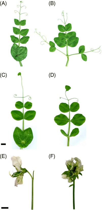 Morphologies of stipules and leaves of the homozygous COCH.