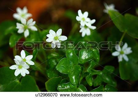 Stock Photography of Primula Modesta Flower Head Leaf Dew Drop Wet.