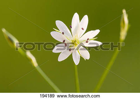Stock Photograph of Grassleaf Starwort, Common Stitchwort.