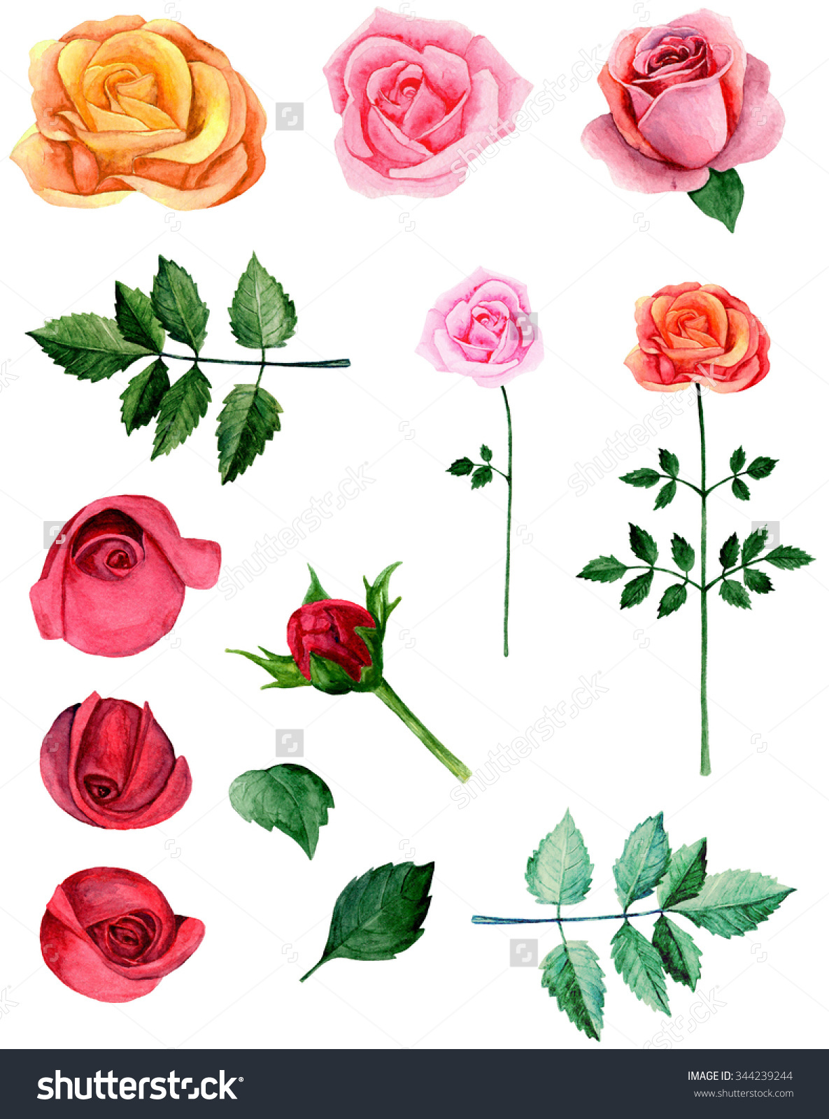 Watercolor Roses Clipart Botany Clip Art Stock Illustration.