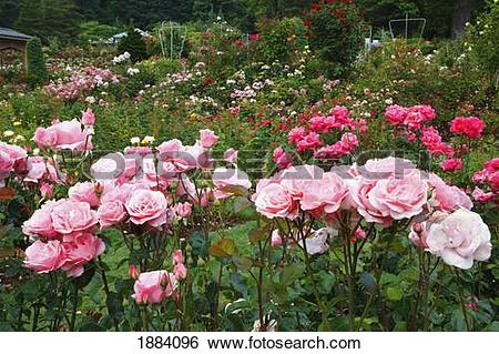 Stock Images of pink roses in the portland rose garden; portland.