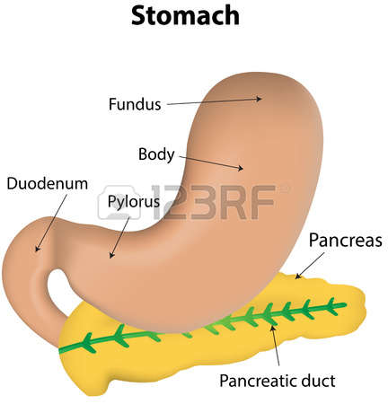 830 Stomach Acid Stock Vector Illustration And Royalty Free.