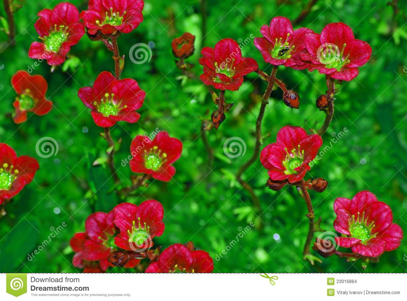 Succulent Plant (stonecrop Or Sedum) Stock Images.