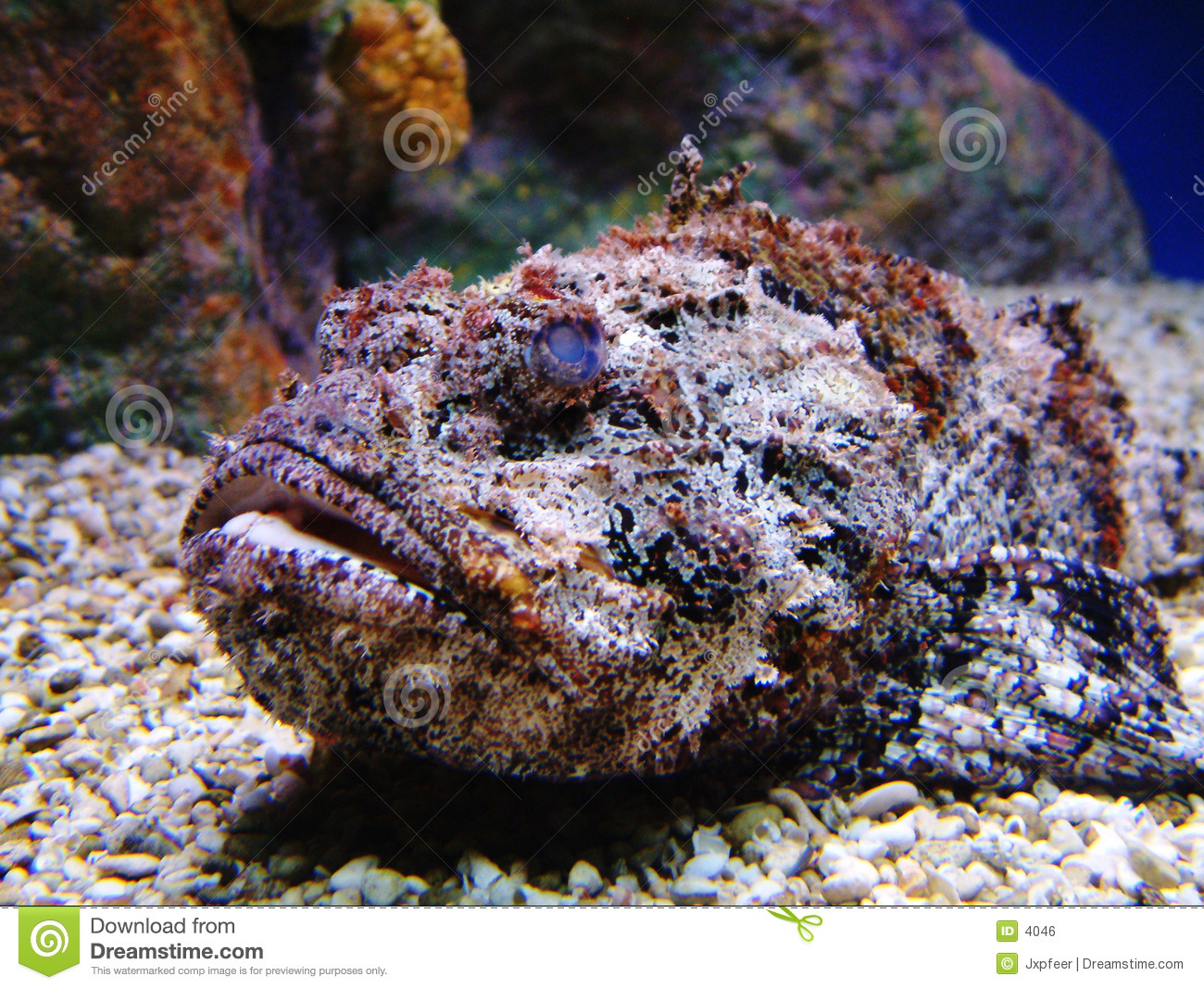 Stonefish Stock Photos, Images, & Pictures.