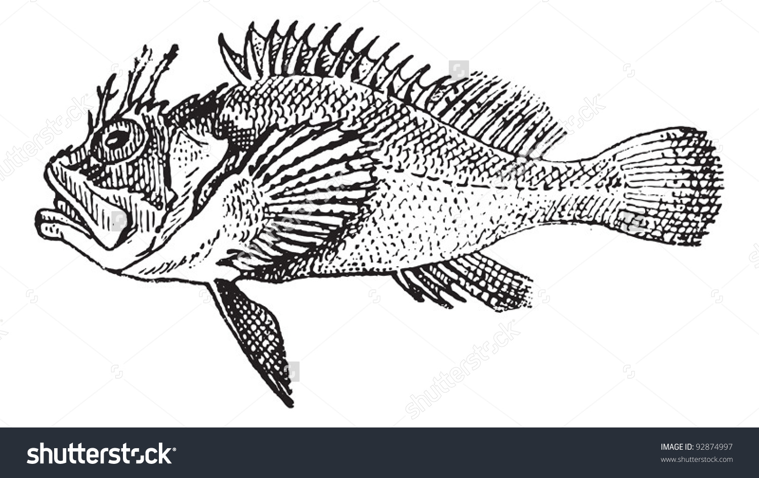 Rockfish Or Stonefish, Vintage Engraved Illustration. Dictionary.
