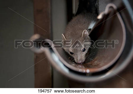 Picture of Stone Marten, Beech Marten (Martes foina) in a roof.