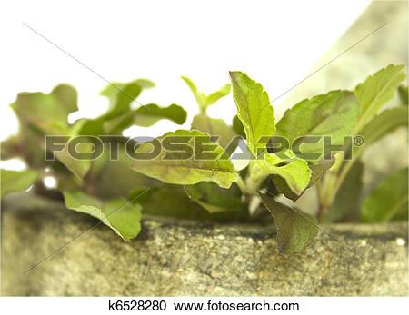 Stock Photography of Basil tulasi and stone pestle mortar k6528280.
