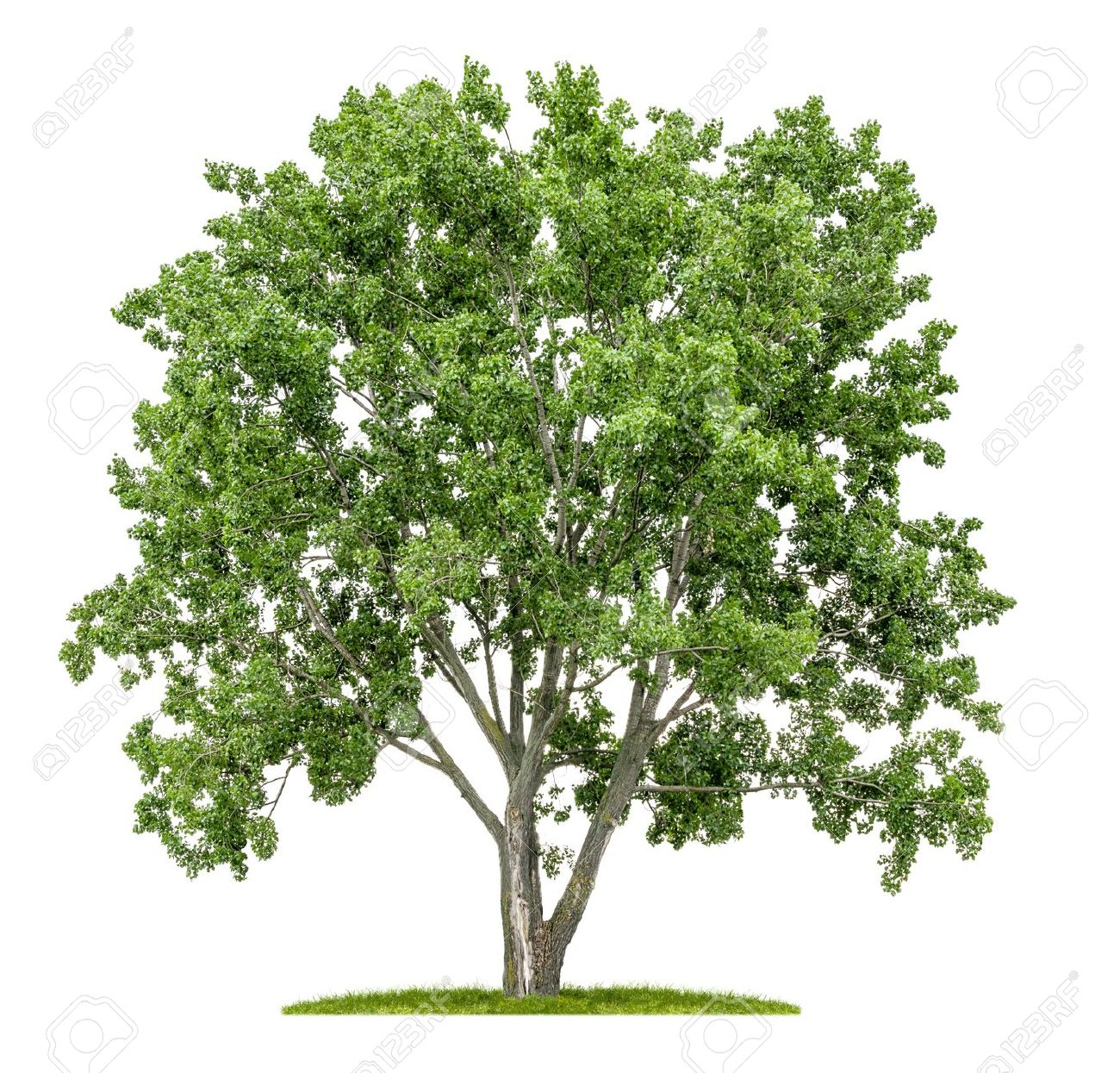 Image result for lime tree clip art""