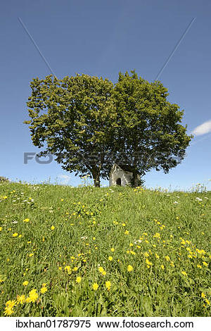 "Stock Image of ""Chapel underneath a lime tree (Tilia."