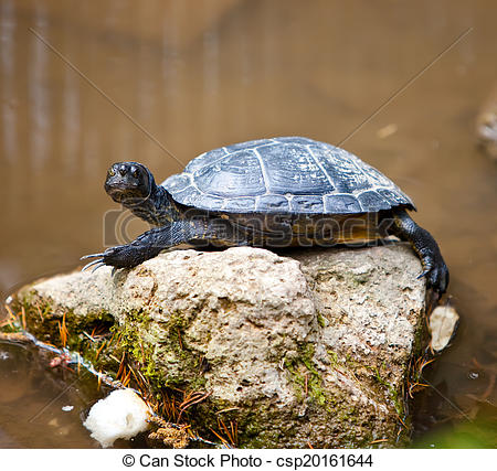 Stock Photo of Turtle small on a stone in a pond csp20161644.
