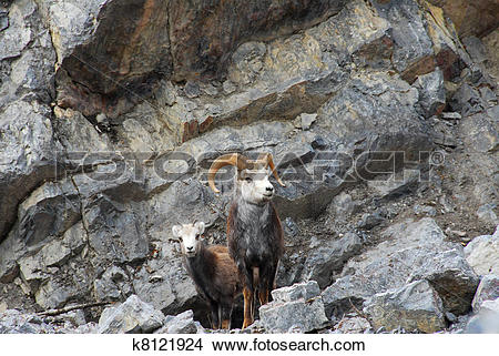 Stock Photo of Male and Female Wild Stone Sheep on mountain.
