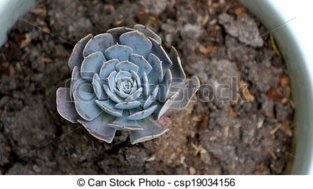 Stock Images of stone roses plant in pot csp19034156.