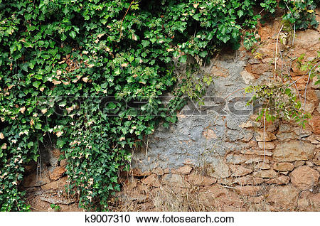Stock Photography of ivy plant on grungy stone wall k9007310.