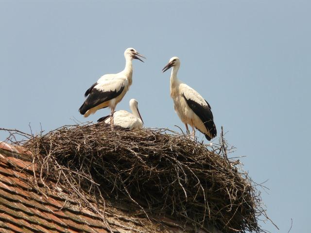 Free photo: Stork, Storchennest, Bird, Hatching.