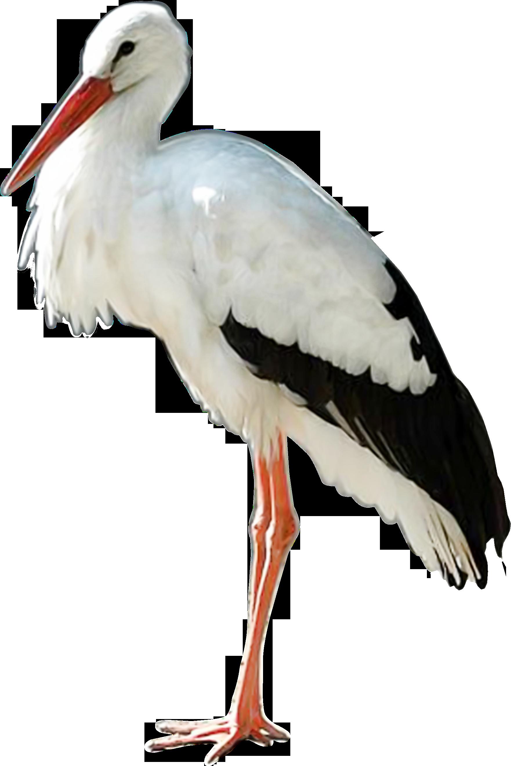 Stork PNG images.