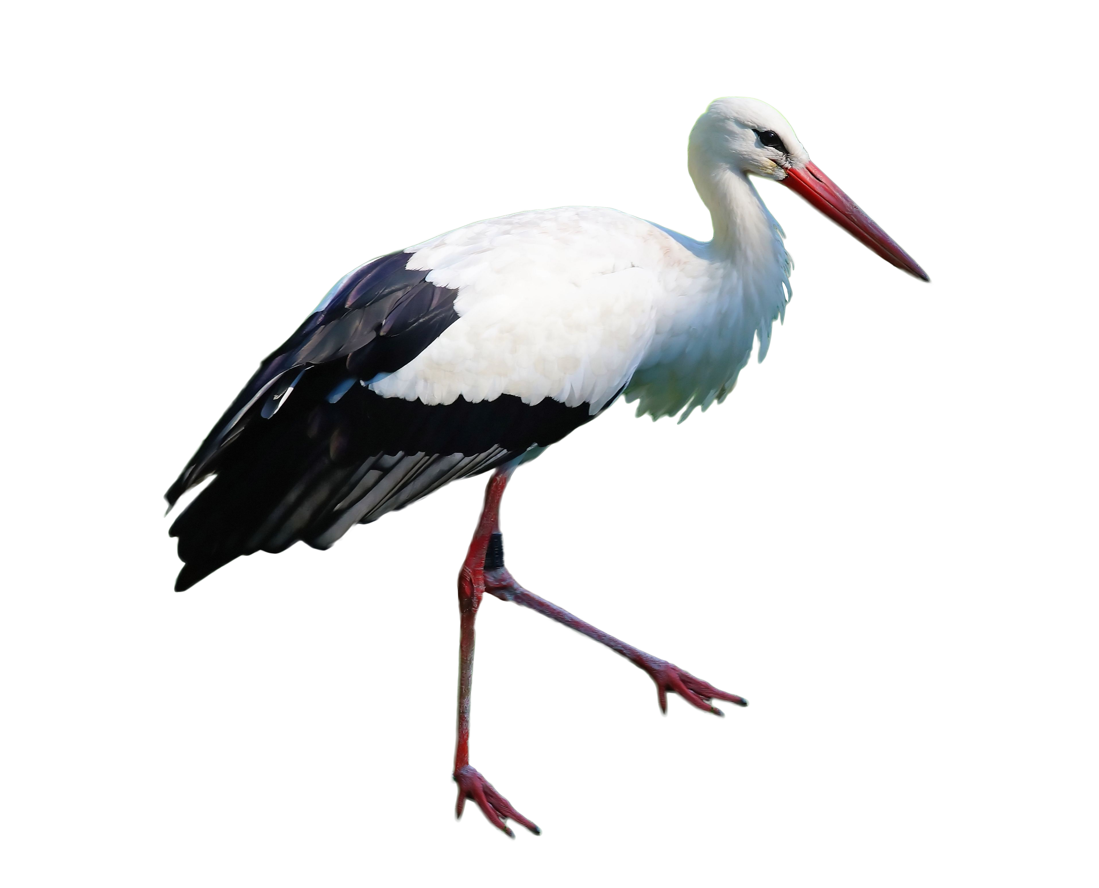 Stork Standing PNG Image.