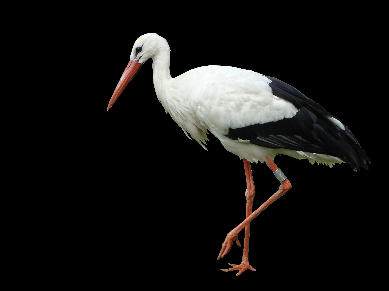 White stork Bird Marabou stork Crane.